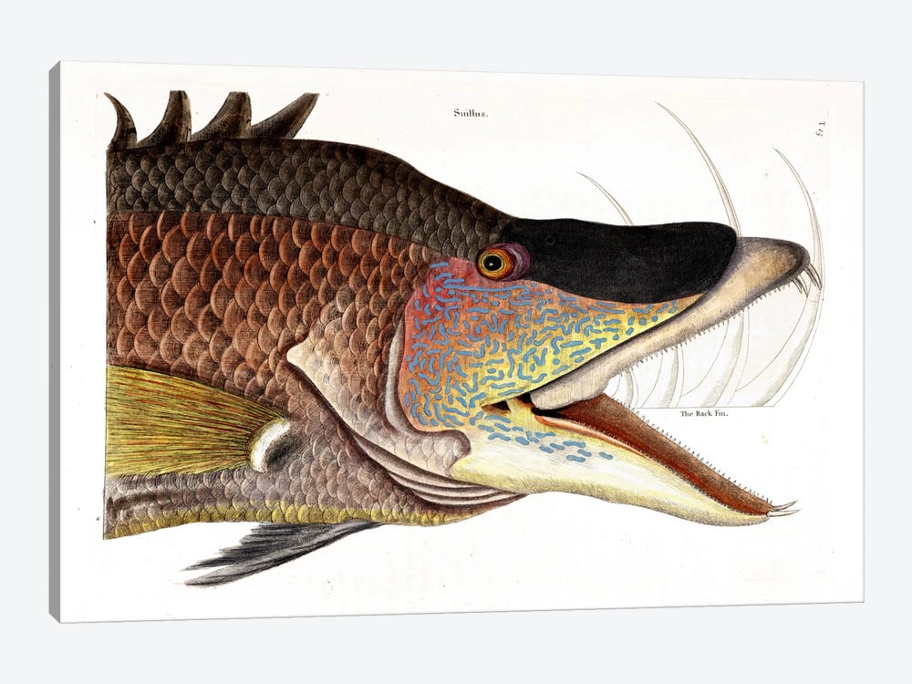 Great Hogfish by Mark Catesby 1-piece Canvas Wall Art