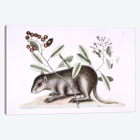 Bahama Coney & Ehretia Bourreria Canvas Print #CAT6} by Mark Catesby Canvas Wall Art