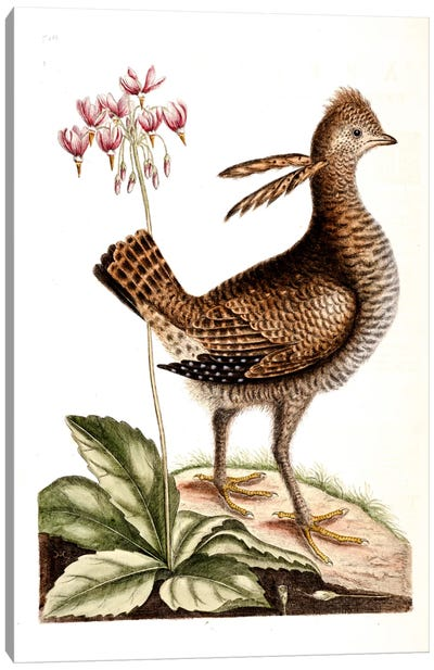 Catesby's Natural History Series: Greater Prairie Chicken & Shooting Star Canvas Print #CAT70