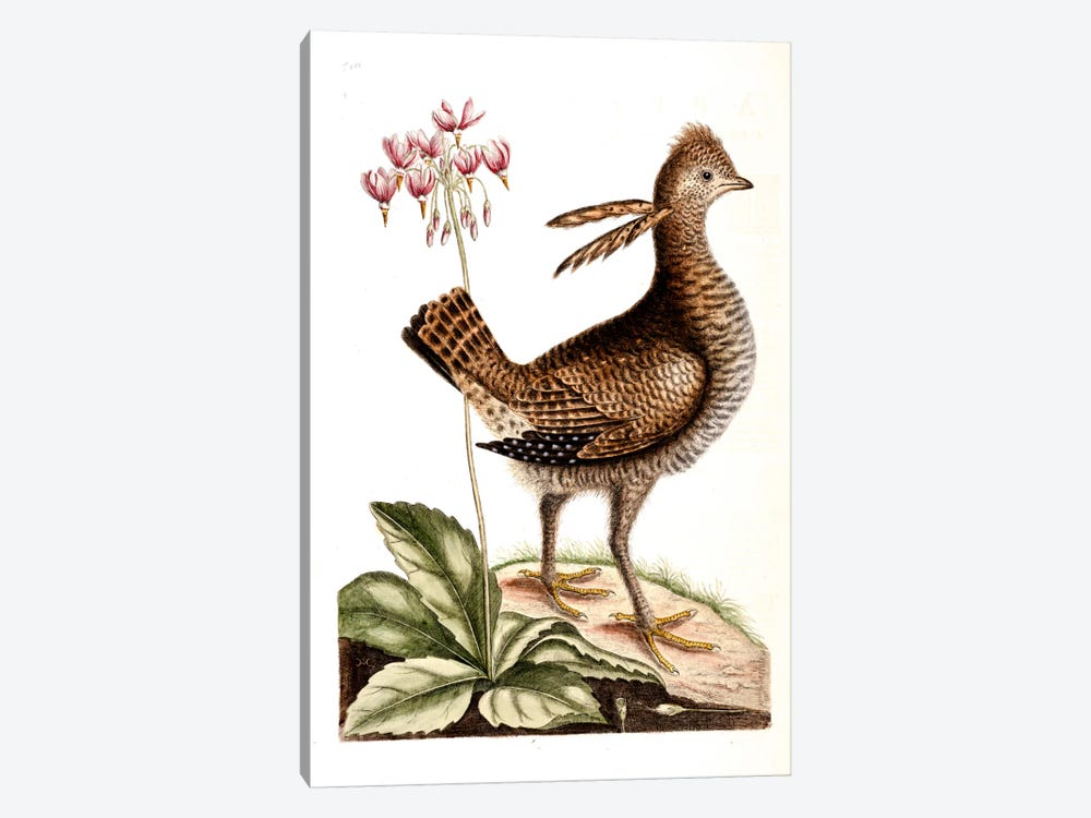 Greater Prairie Chicken & Shooting Star by Mark Catesby 1-piece Canvas Artwork