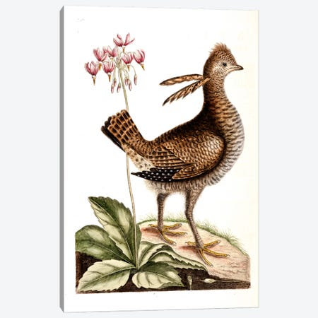 Greater Prairie Chicken & Shooting Star Canvas Print #CAT70} by Mark Catesby Canvas Art Print
