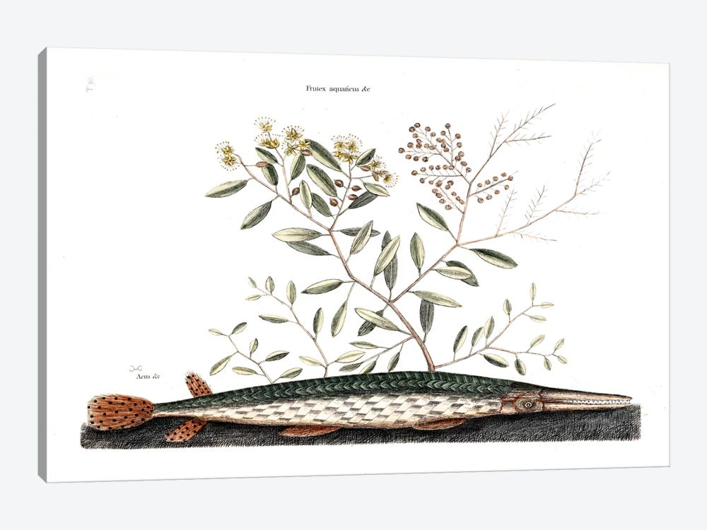 Green Gar Fish & Frutex Aquaticus by Mark Catesby 1-piece Canvas Print