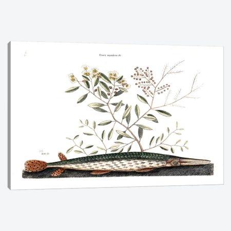 Green Gar Fish & Frutex Aquaticus Canvas Print #CAT71} by Mark Catesby Art Print