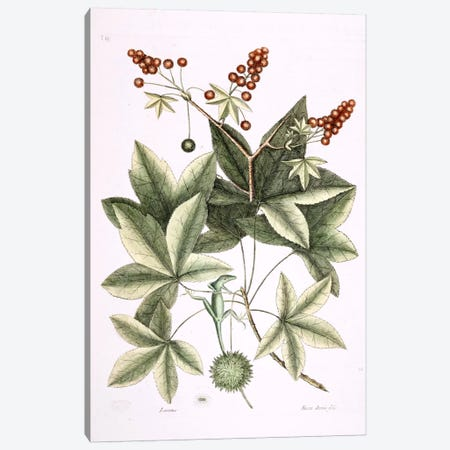 Green Lizard Of Carolina & Sweet Gum Tree Canvas Print #CAT72} by Mark Catesby Art Print