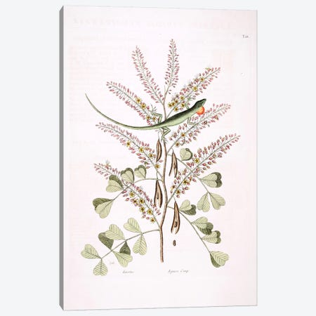 Green Lizard Of Jamaica & Logwood Canvas Print #CAT73} by Mark Catesby Canvas Print
