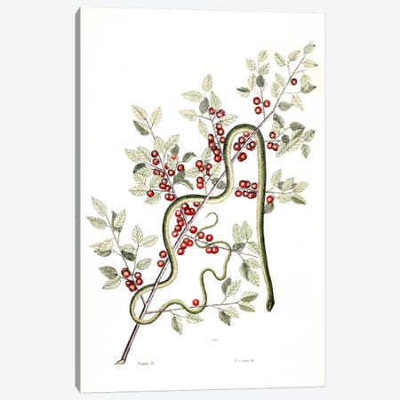 Green Snake & Inkberry Canvas Print #CAT74} by Mark Catesby Canvas Wall Art