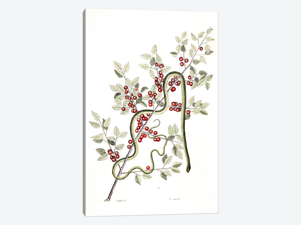 Green Snake & Inkberry by Mark Catesby 1-piece Canvas Art