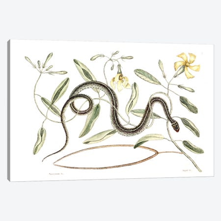 Green Spotted Snake & Vinca Lutea (Hammock Viper's-Tail) Canvas Print #CAT75} by Mark Catesby Canvas Artwork