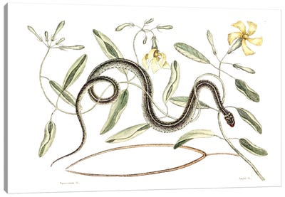 Catesby's Natural History Series: Green Spotted Snake & Vinca Lutea (Hammock Viper's-Tail) Canvas Print #CAT75
