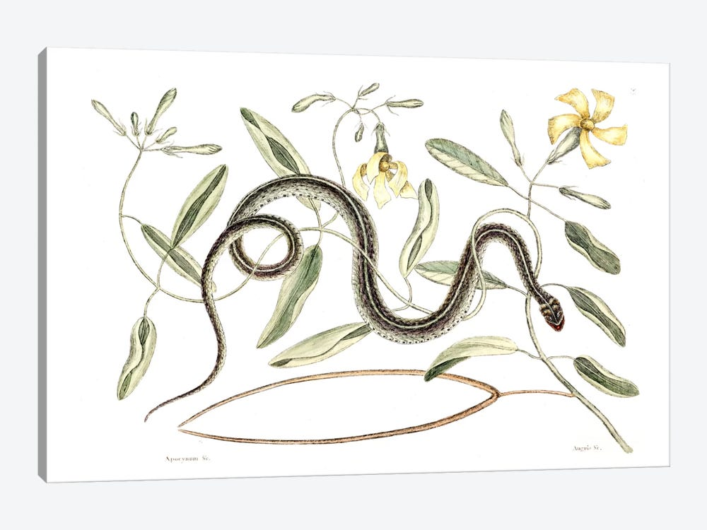 Green Spotted Snake & Vinca Lutea (Hammock Viper's-Tail) by Mark Catesby 1-piece Art Print