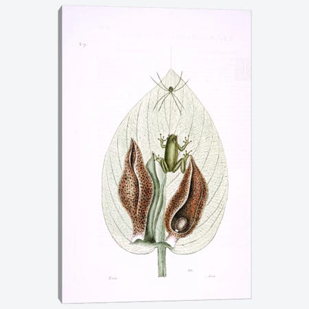 Green Tree Frog & Eastern Skunk Cabbage Canvas Print #CAT76} by Mark Catesby Canvas Art