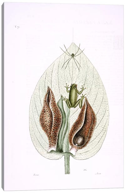 Catesby's Natural History Series: Green Tree Frog & Eastern Skunk Cabbage Canvas Print #CAT76