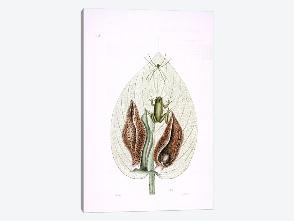 Green Tree Frog & Eastern Skunk Cabbage by Mark Catesby 1-piece Canvas Wall Art