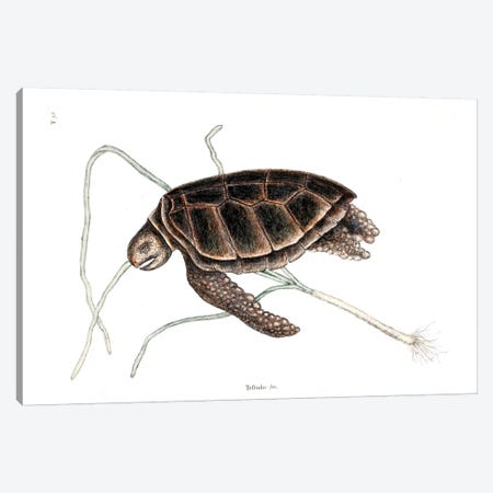 Green Turtle Canvas Print #CAT77} by Mark Catesby Canvas Artwork