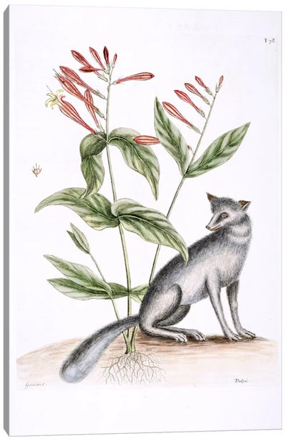 Catesby's Natural History Series: Grey Fox & Indian Pink Canvas Print #CAT78