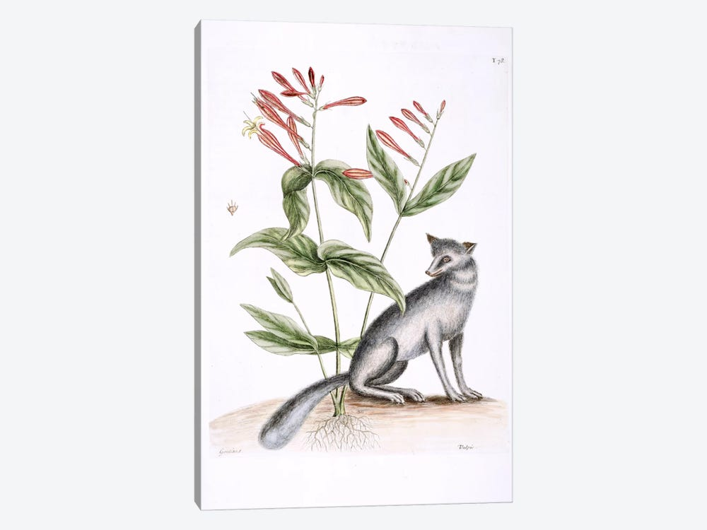 Grey Fox & Indian Pink by Mark Catesby 1-piece Canvas Artwork