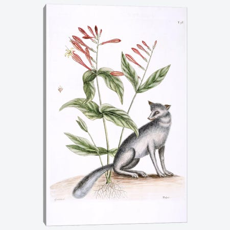 Grey Fox & Indian Pink Canvas Print #CAT78} by Mark Catesby Canvas Print