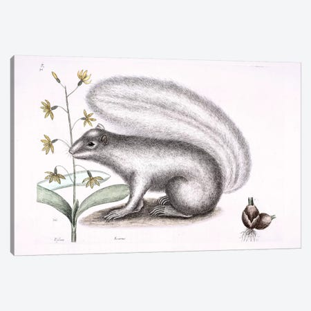 Grey Fox Squirrel & Epidendrum Punctatum Canvas Print #CAT79} by Mark Catesby Art Print