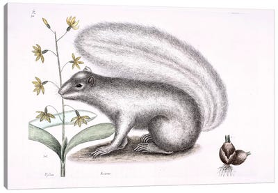 Grey Fox Squirrel & Epidendrum Punctatum Canvas Art Print