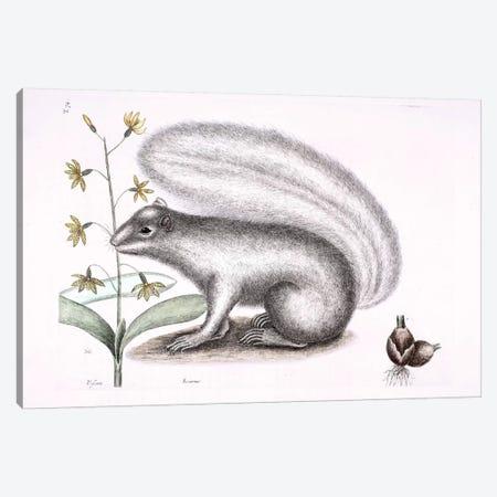 Grey Fox Squirrel & Epidendrum Punctatum Canvas Print #CAT79} by Mark Catesby Art Print
