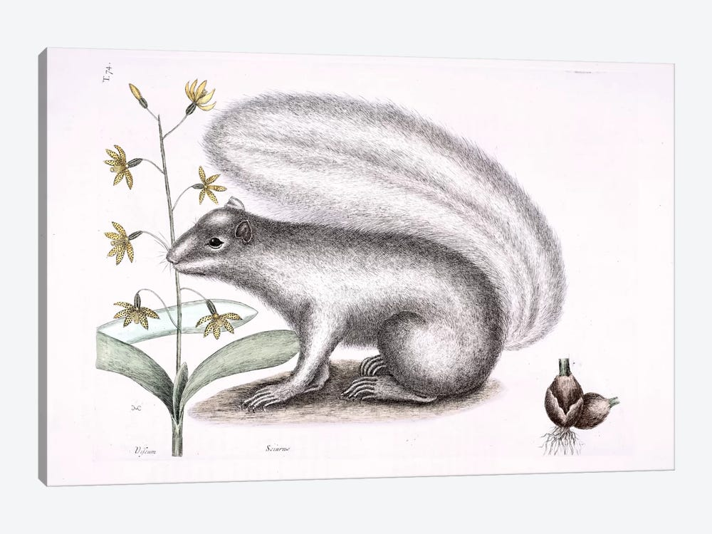 Grey Fox Squirrel & Epidendrum Punctatum by Mark Catesby 1-piece Canvas Art Print
