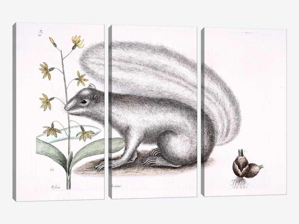 Grey Fox Squirrel & Epidendrum Punctatum by Mark Catesby 3-piece Art Print