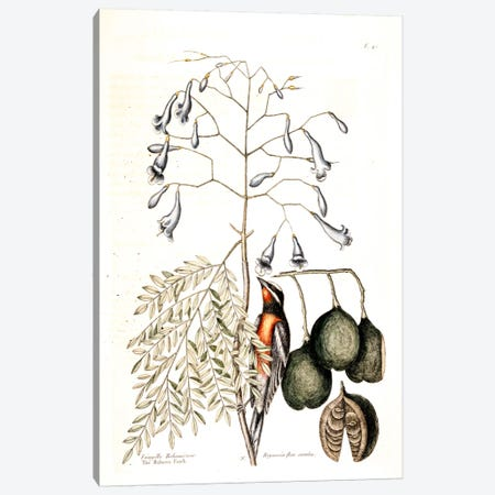 Bahama Finch & Broadleaved Guaiacum With Blue Flowers Canvas Print #CAT7} by Mark Catesby Canvas Artwork
