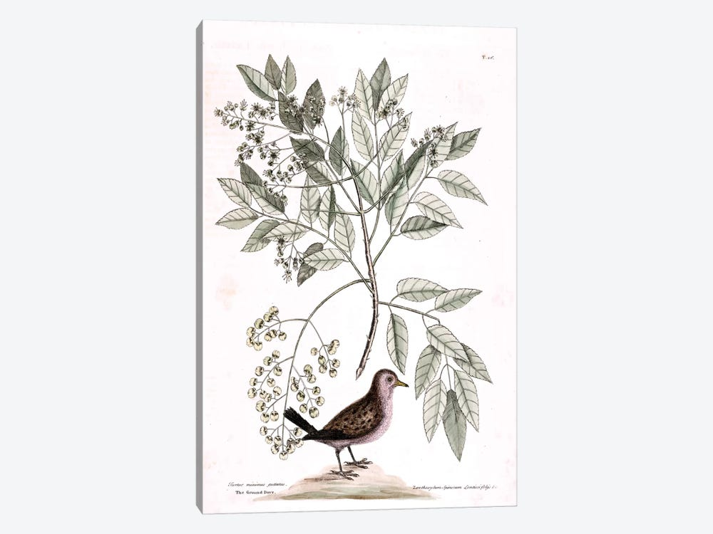 Ground Dove & Toothache Tree by Mark Catesby 1-piece Canvas Print