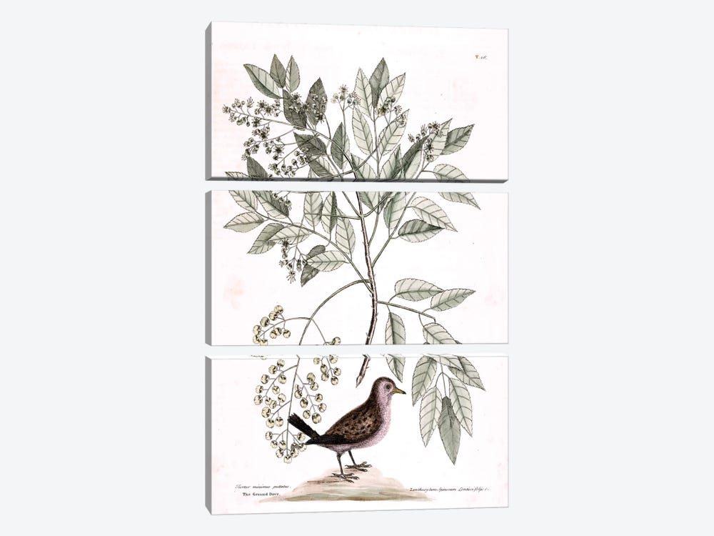 Ground Dove & Toothache Tree by Mark Catesby 3-piece Canvas Art Print
