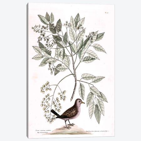 Ground Dove & Toothache Tree Canvas Print #CAT80} by Mark Catesby Canvas Wall Art