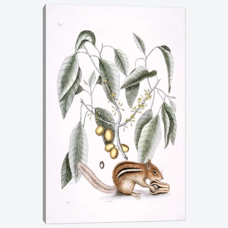 Ground Squirrel & Mastic Tree Canvas Print #CAT81} by Mark Catesby Canvas Art