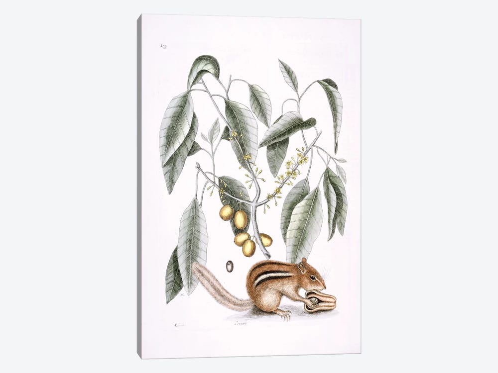 Ground Squirrel & Mastic Tree by Mark Catesby 1-piece Canvas Art