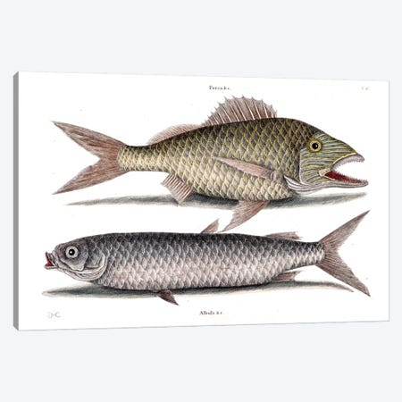 Grunt & Mullet Canvas Print #CAT82} by Mark Catesby Canvas Art