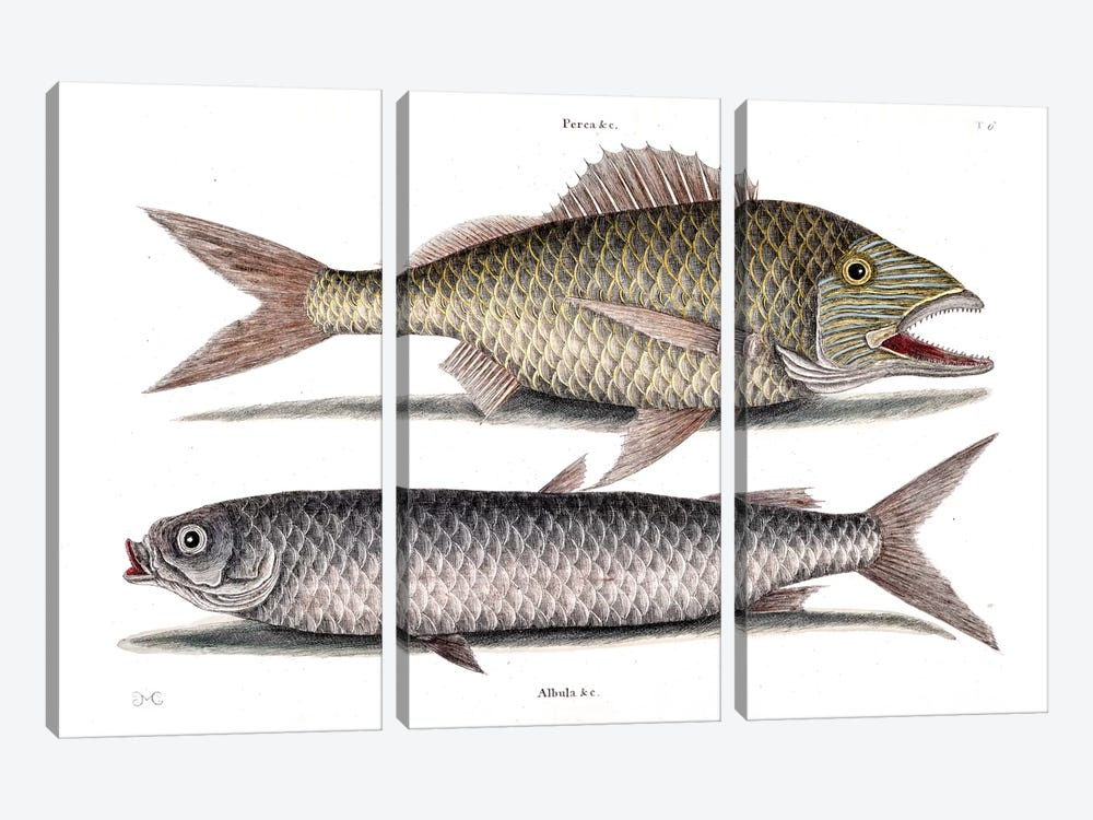 Grunt & Mullet by Mark Catesby 3-piece Canvas Art Print