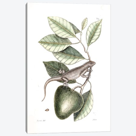 Guana & Alligator Apple Canvas Print #CAT83} by Mark Catesby Canvas Art
