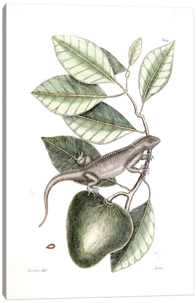 Catesby's Natural History Series: Guana & Alligator Apple Canvas Print #CAT83