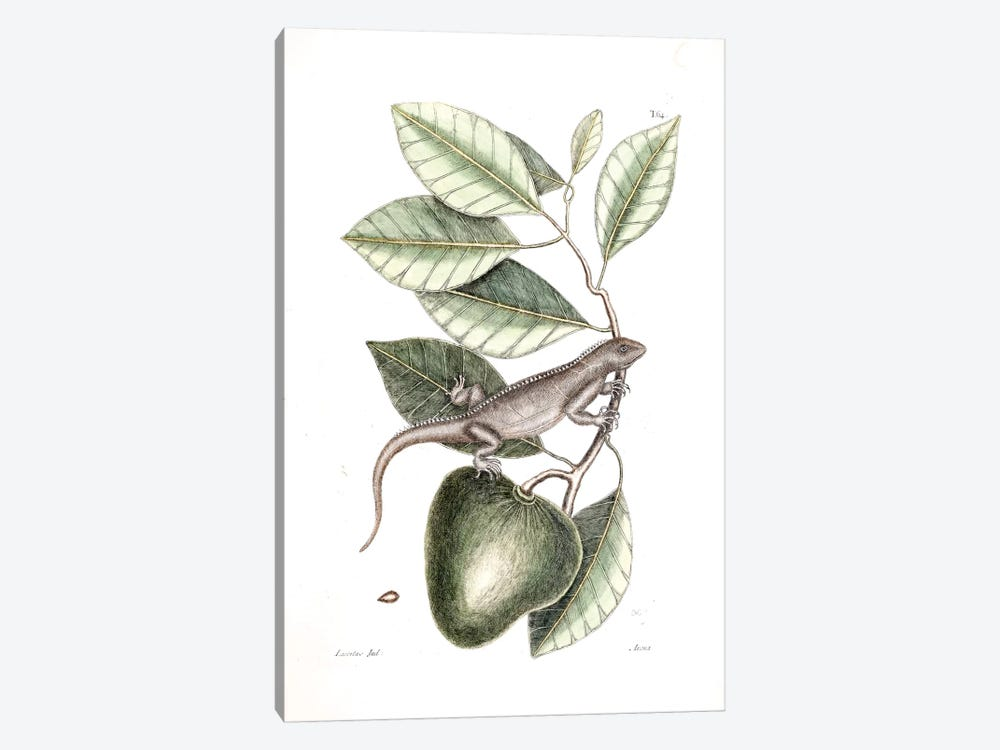 Guana & Alligator Apple by Mark Catesby 1-piece Canvas Artwork