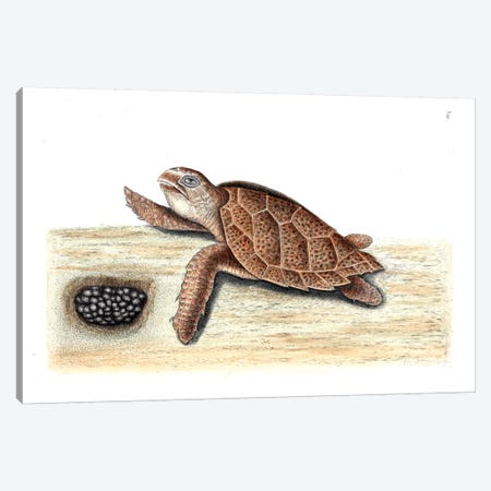 Hawks-Bill Turtle Canvas Print #CAT84} by Mark Catesby Canvas Print