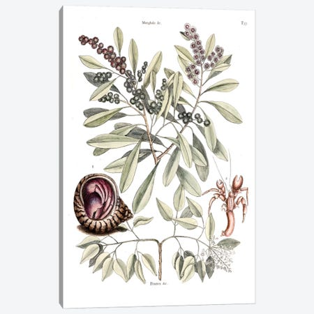 Hermit Crab, Amyris Elemifera (Sea Torchwood) & Conocarpus Erecta (Florida Buttonwood) Canvas Print #CAT85} by Mark Catesby Canvas Print