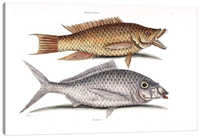 Hog Fish & Shad Canvas Art Print