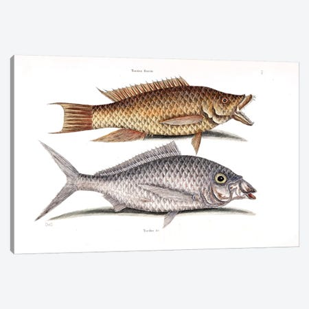 Hog Fish & Shad Canvas Print #CAT87} by Mark Catesby Art Print