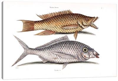 Hog Fish & Shad Canvas Art Print