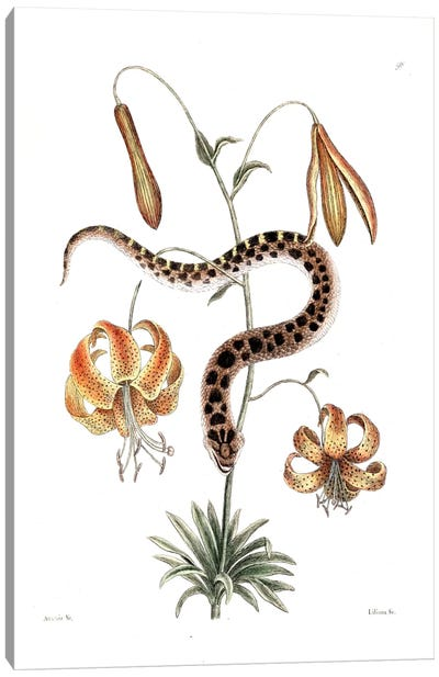 Hog-Nose Snake & Lilium Superbum (American Tiger Lily) Canvas Art Print