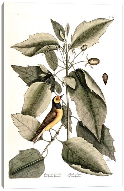 Catesby's Natural History Series: Hooded Titmouse & Water Tupelo Canvas Print #CAT89