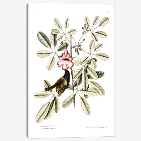 Bahama Sparrow & Bignonia Pentaphylla (Pink Trumpet Tree) Canvas Print #CAT8} by Mark Catesby Canvas Print