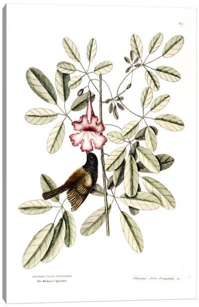 Catesby's Natural History Series: Bahama Sparrow & Bignonia Pentaphylla (Pink Trumpet Tree) Canvas Print #CAT8