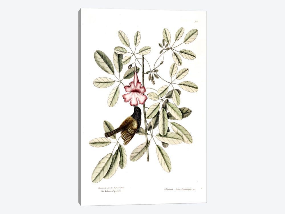 Bahama Sparrow & Bignonia Pentaphylla (Pink Trumpet Tree) by Mark Catesby 1-piece Canvas Art