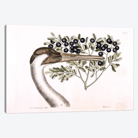 Hooping Crane & Bullet Bush Canvas Print #CAT90} by Mark Catesby Canvas Print