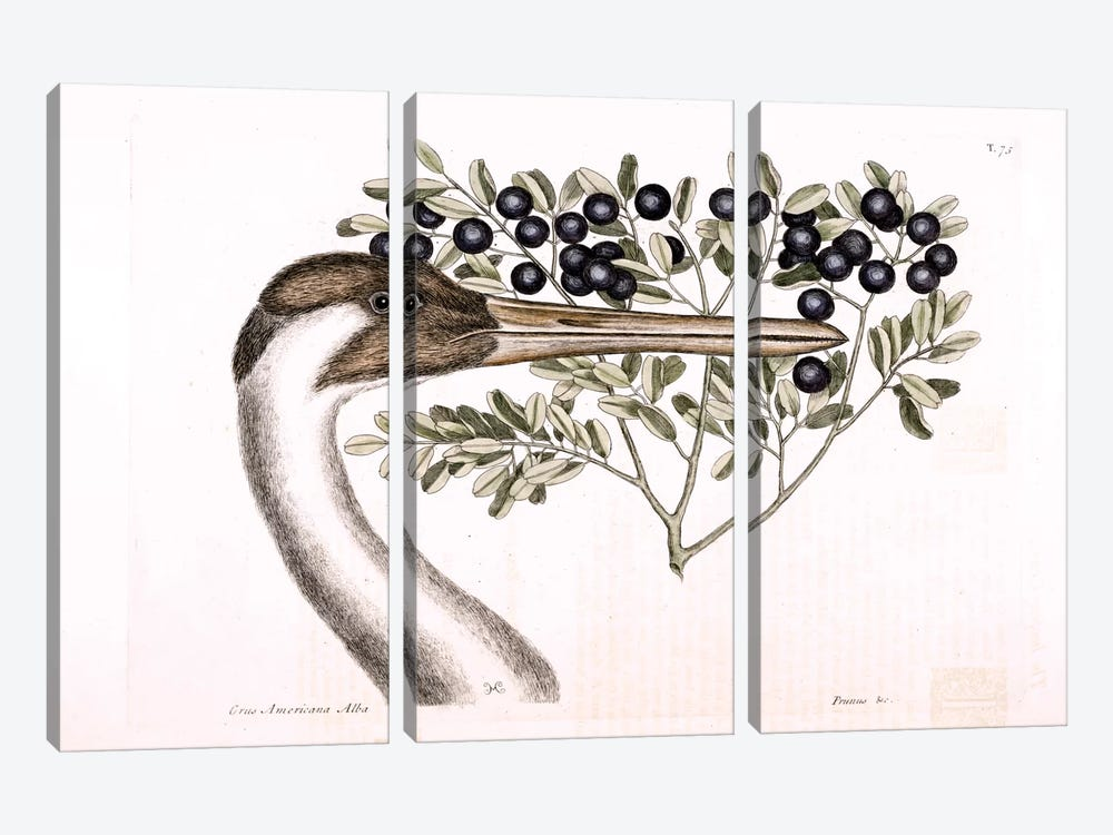 Hooping Crane & Bullet Bush by Mark Catesby 3-piece Canvas Artwork