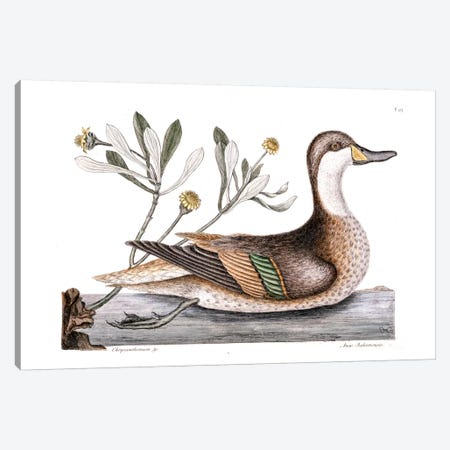 Ilathera Duck (White-Cheeked Pintail) & Buphthalmum Frutescens (Sea Oxeye) Canvas Print #CAT92} by Mark Catesby Canvas Art Print